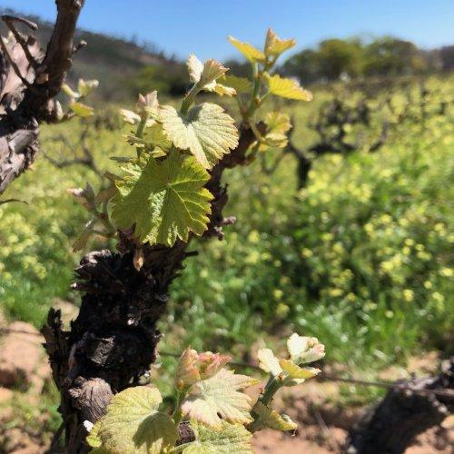 Bud break in The vineyard