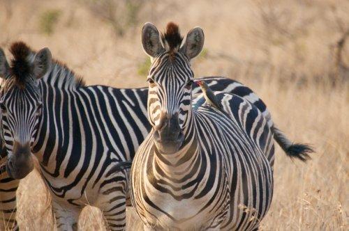 Notice the little bird sitting on the zebra's back!