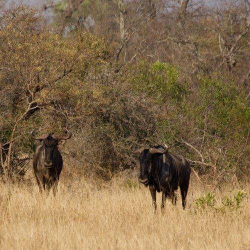 Wildebeest!
