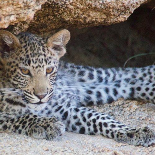 Leopard cub about six month old