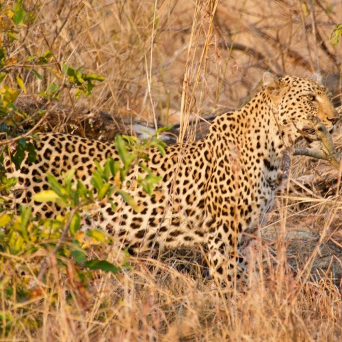 Leopard mom.