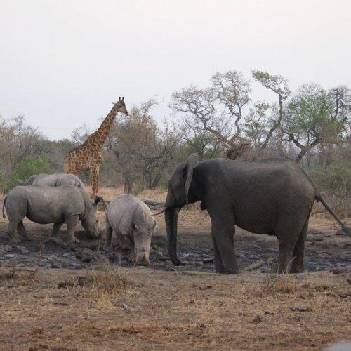 Rhinos, elephants and a giraffe at a water hole close to dusk