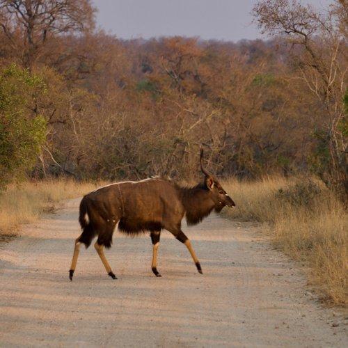 Nyala buck crossing the road
