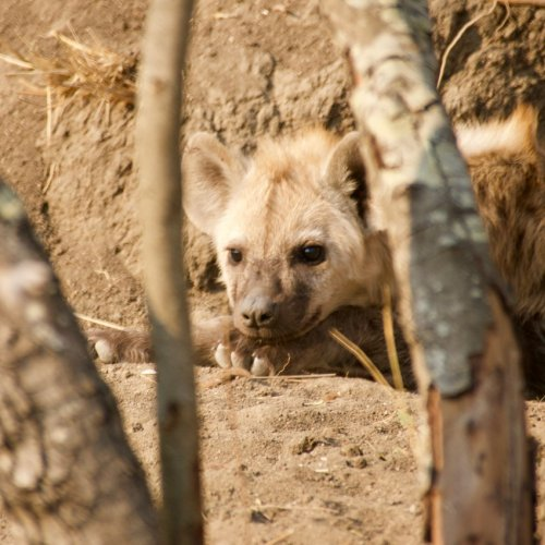 Hyena cub, living in an abandoned termite mound