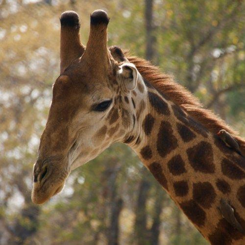 Giraffes are beautiful!