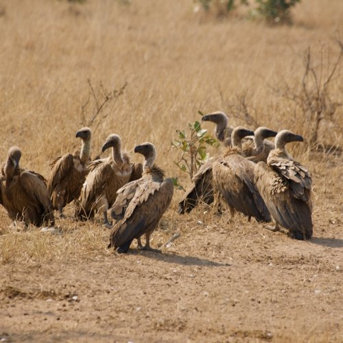 Vultures just cleaned up an impala carcass - Either that or Congress must be in session!