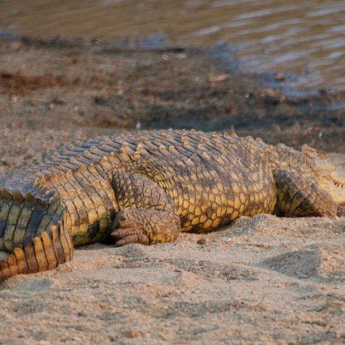 Nile crocodile sunning at the water edge