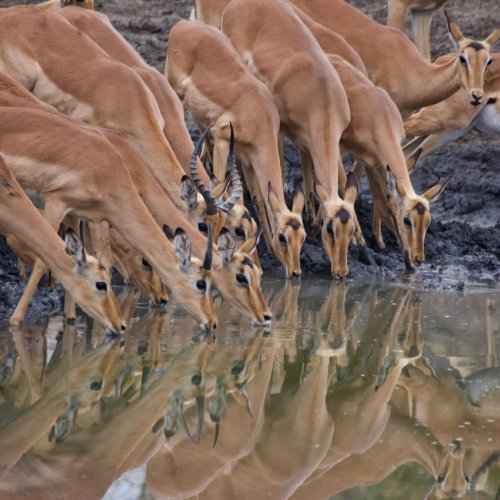Impala at the water hole